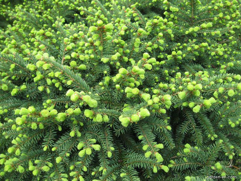 21278-smrk-ztepily-x-nidiformis-picea-abies-a.png